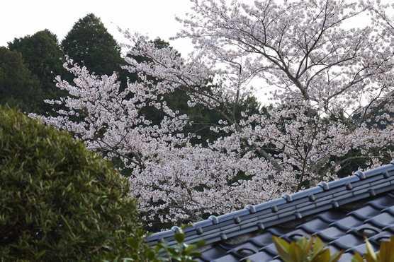 20200409 桜