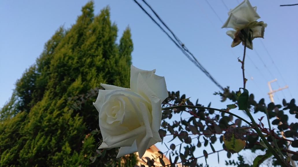 12月の白い薔薇