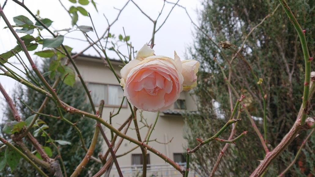 まだ枯れない薔薇1月
