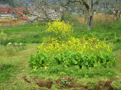 200403菜の花と桜