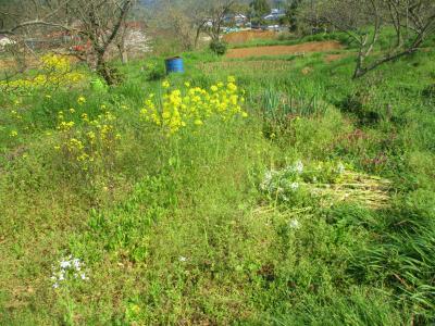 200404栗の木の下の菜の花