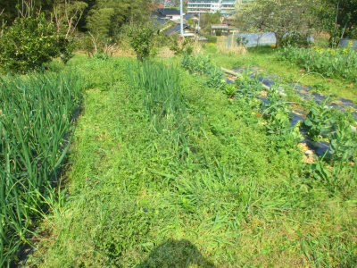 200404早生玉ねぎ周りの草