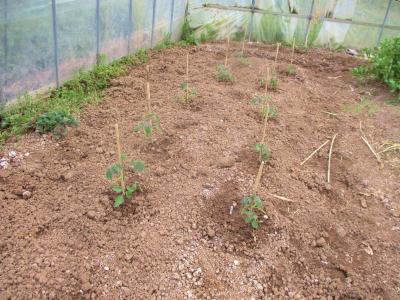 200403ハウストマトの定植