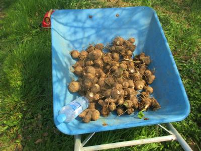 200403里芋収穫