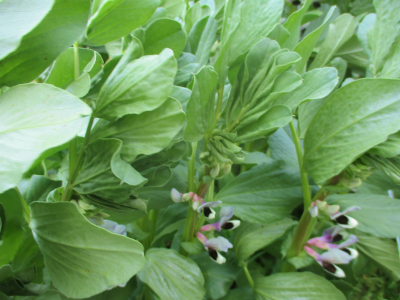200404ソラマメの花