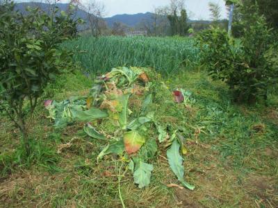 200404冬野菜の残骸3