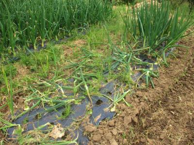 200416早生のタマネギは収穫サイン