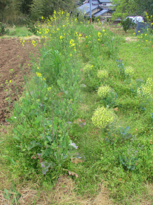 200416のらぼう菜とブロッコリー