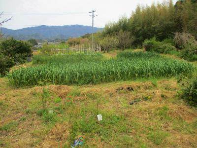 200417綺麗になっている空の畑3
