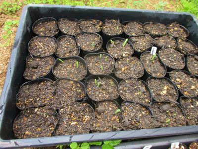 200426トウモロコシも芽が出た