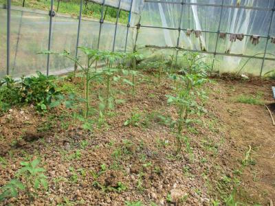 200426ハウスのトマトは大きくなってきた