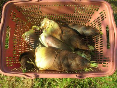 200427収穫した筍