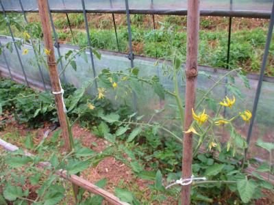 200515ハウスのトマトに花が
