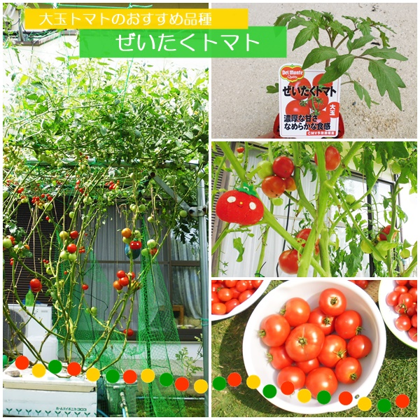 ぜいたくトマト01