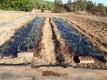 玉ねぎを植えた