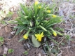 早咲きのスイセン