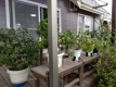 デッキの観葉植物