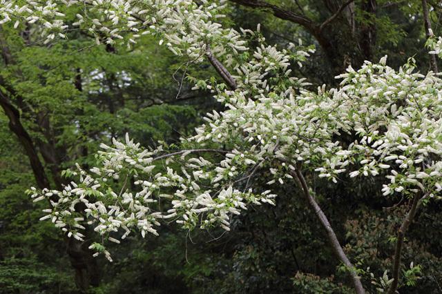 ウワミズザクラ(上溝桜)