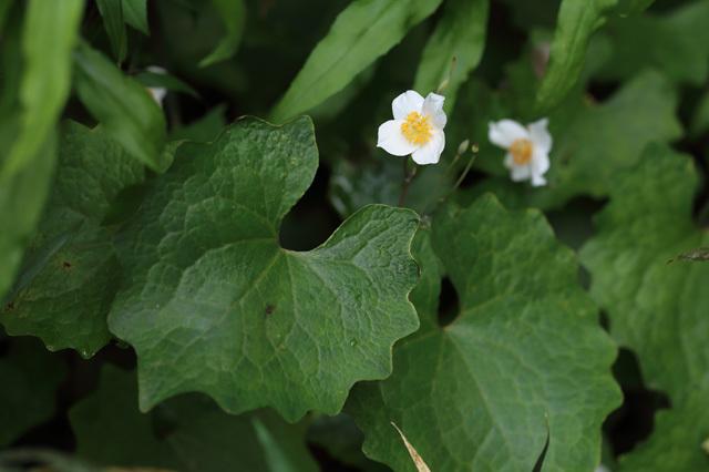 シラユキゲシ(白雪芥子)