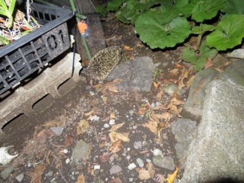 野生のアムールハリネズミちゃん、自生フキの茂みに走って戻りました。2019.11.02