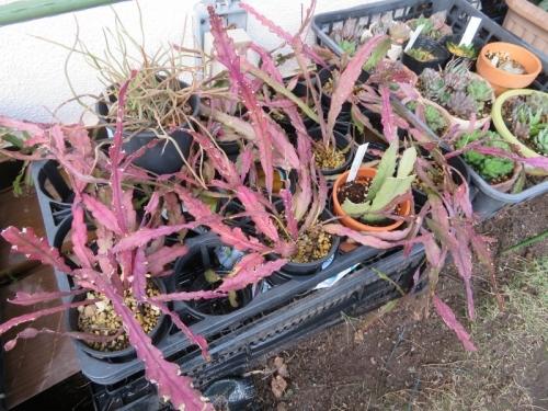 レピスミウム・ネズミ尾葦(白花)(Lepismium cruciforme)寒さに当たり赤く紅葉中2019.11.25