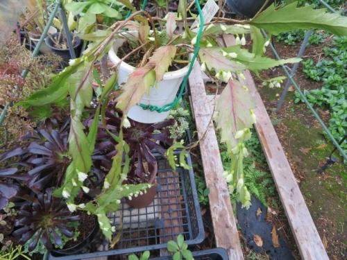 レピスミウム・ホレティアナム(花柳)1年間に不定期に何度か開花しています。2019.11.25