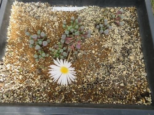フェネストラリア・ベビートゥ、自家採取種子実生苗、2年で開花しています。白花。2019.11.19