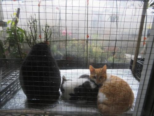 雨宿りする野良ネコちゃんたち♪黒ちゃんは雄ですが、母親変わりをしているように見えます。白黒&白茶は今年7月生まれかと思われる子猫ちゃん。2019.11.22