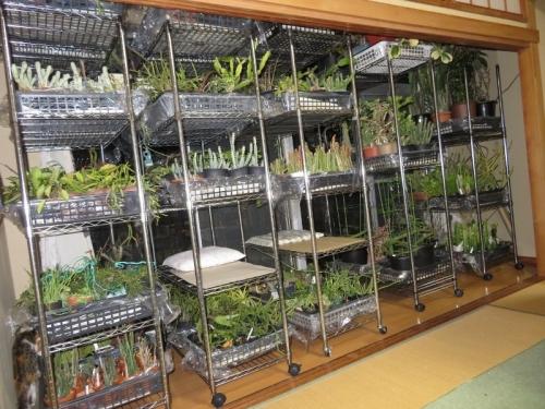観葉植物、防寒対策~リプサリス、ユーホルビア、ガガイモ系、ホヤ、バニラ、夜の女王、緊急避難室内に取り込みました。2019.11.29