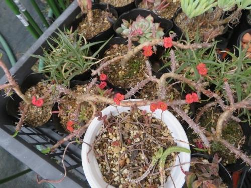 ユーフォルビア・ハナキリン、屋外で咲いている冬の多肉花♪2019.12.14