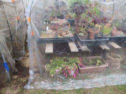 シャコバサボテン、屋外簡易ビニールハウスの棚下、短日で花芽ができ只今開花中~2019.12.14