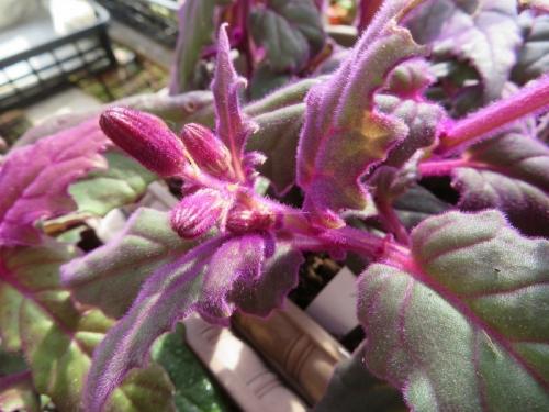 キク科、ギヌラ・パープルパッションのオレンジ花の蕾、冬咲多肉植物、2019.12.14