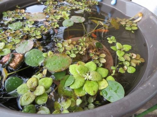 水浮草、アマゾンフロッグピットの花が咲いています。2019.12.23