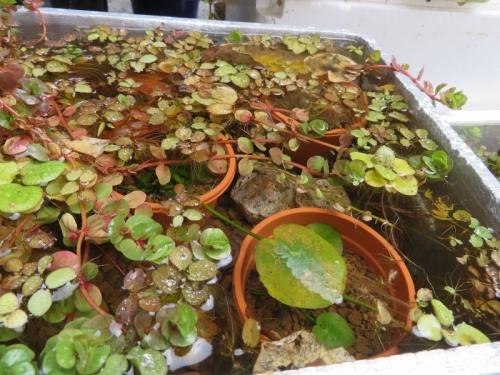 バナナプランツ(水草)茶鉢に赤玉用土を入れ育てましたが、思うより大きくなりませんでした。2019.12.23