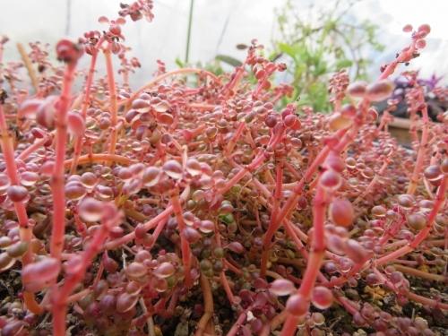 ピレア・グロボーサ(露鏡)真冬の紅葉♪葉裏に透明な露が滴りそうに見えます♪2019.12.25