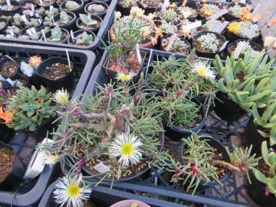フィロボルス・SP、涼しくなるとアイスプランツ的な葉を茂らせ淡黄緑色の花を割かせます。2019.12.31