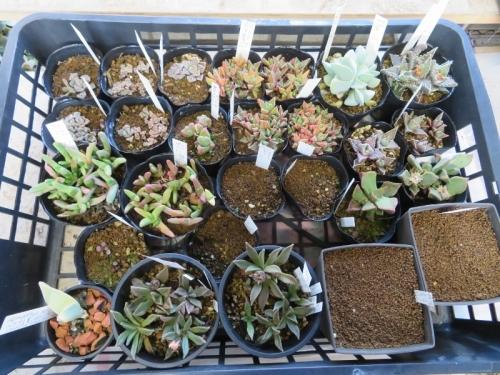 ギバエウム、フォーカリア、チタノプシス、プレイオスピロスなど、葉物メセンいろいろ、自家採取種子、実生苗の植え替えしました。2020.02.04