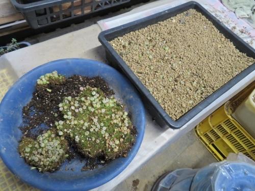 リトープス、自家採取種子、④~⑥実生苗の植え替えしました。2020.02.03