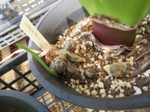 赤花マユハケオモト(落葉タイプ)、昨年咲いた株にタネができこぼれて鉢内に出発芽しています。2020.02.09