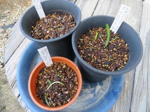 赤花マユハケオモト、こぼれ種発芽苗鉢上げしました。何年で開花するのでしょうか。2020.02.09