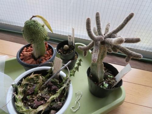 プセウドリトス(自分で接ぎ木と実生苗の生き残り1つ)、セロペギア(種鞘できています。)、スタぺリア(自分で接ぎ木)室内窓際で暖房保温中。2020.02.26