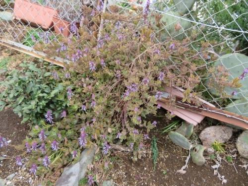 プレクトランサス・ネオチラス(Plectranthus neochilus)原産地:南アフリカ、満開花中♪2020.02.28