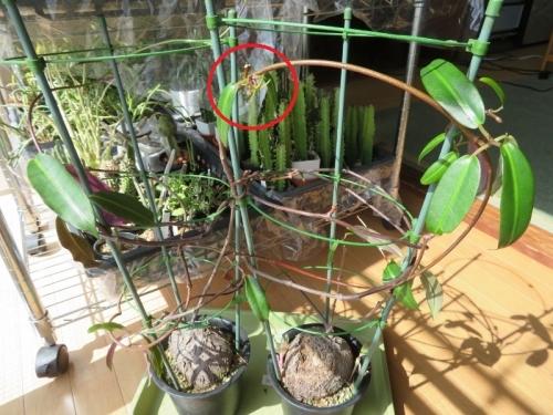 ペトペンチア・ナタレンシス(Petpentia natarensis)の花、室内日当たりの縁側で開花しています。2020.03.03