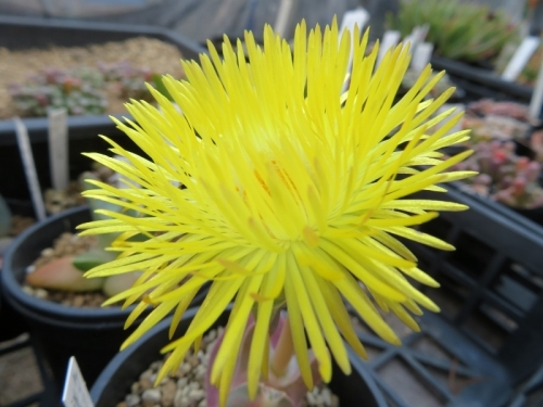 ケイリドプシス・祥鳳(Cheiridopsis peculiaris)2017.01.26実生苗、午後3時頃開花しています。2020.03.26