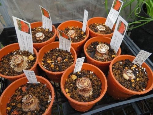 ハエマンサス(スカドクサス)ムルチルローラ、(Haemanthus(Scadoxua)multiflorsu半分腐らせてしまった殺菌消毒保存球根を植え付けしました。2020.04.23