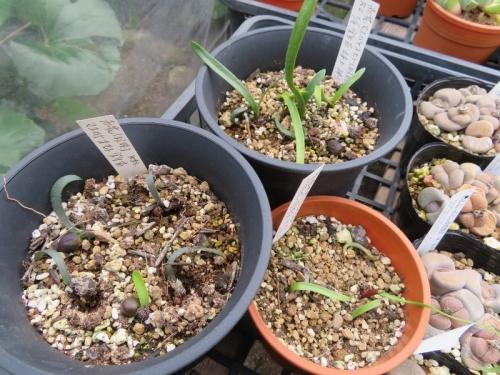 ハエマンサス・コッキネウス、鉢内にこぼれ種発芽していた苗【2020.02.09鉢上げ)はどうにか育っています。2020.04.26