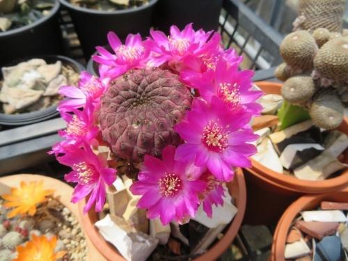 スルコレブチア・ラウシー(Sulcorebutia rauschii)ボリビア南部原産、標高3000m、寒さに強く蒸し暑さに弱い。開花しました♪2020.04.29
