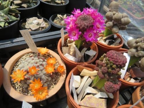 レブチア・ムスクラ(交配種)、スルコレブチア・ラウシー(Sulcorebutia rauschii)開花中♪2020.04.29