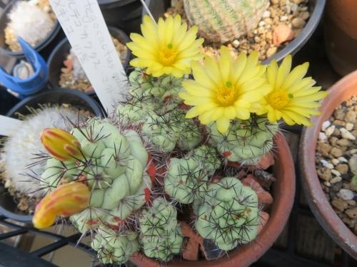 オルテゴカクタス・マクドガリー(黄色花)開花中♪2020.05.01
