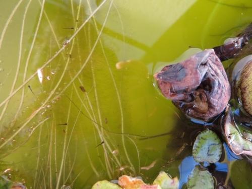 メダカの卵が青水の中で続々孵化しています♪2020.04.27~05.01